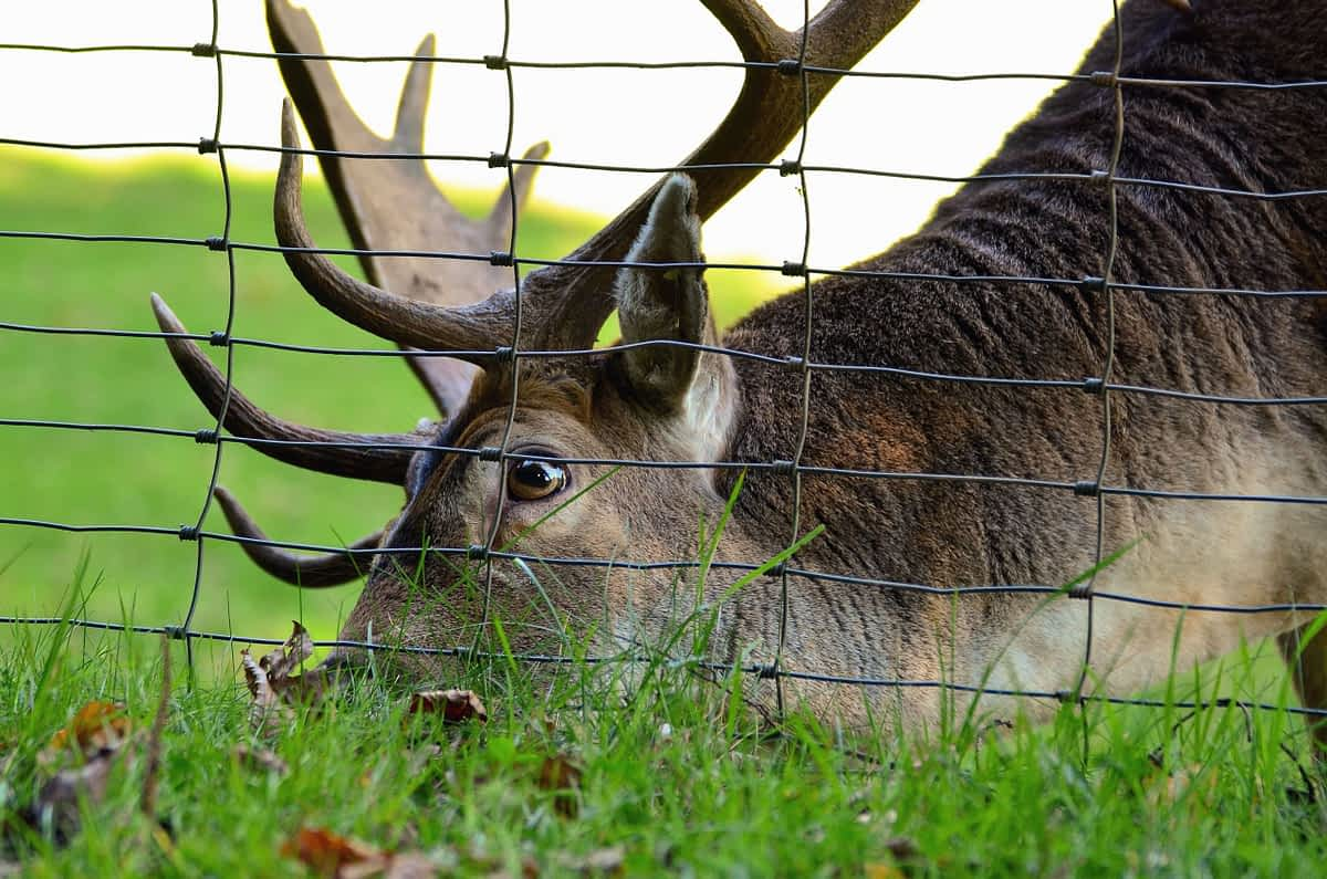 Deer behind a deer fence